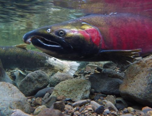 Idaho: coho salmon fishing now open on the Clearwater River