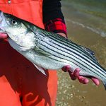 Maryland-Striped-Bass-Conservation-Regulations-Set-for-Spring-2020.jpg