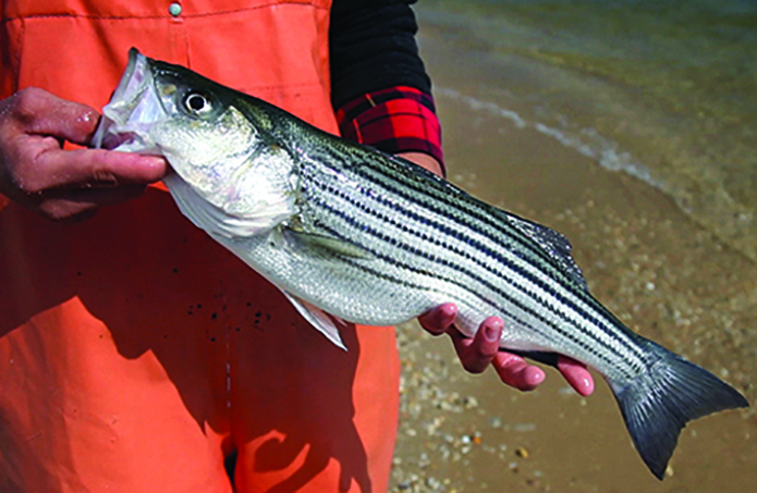 Maryland: Striped Bass Conservation Regulations Set for Spring 2020