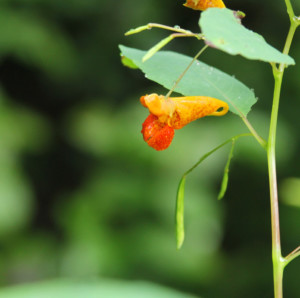 Jewelweed: a natural remedy for poison ivy, stinging nettles